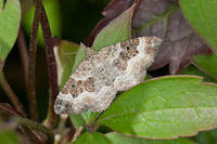 1738 Common Carpet