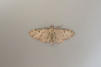 1851 Golden-rod Pug
