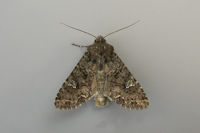 2154 Cabbage Moth