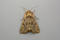 2158 Pale-shouldered Brocade