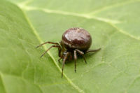 Common False Widow