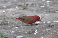 Red-billed Firefinch