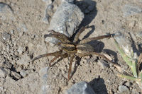 Rustic Wolf Spider