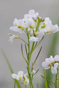 Cuckooflower (Lady's-smock)