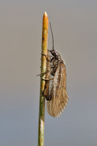 Common Alder Fly