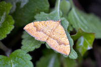 1742 Yellow Shell