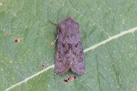 2231a Northern Deep-brown Dart