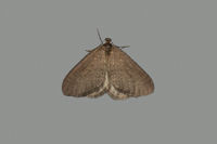1799 Winter Moth