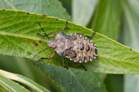 Red-legged Shieldbug