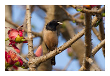 Rosy Starling