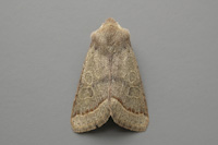 2187 Common Quaker