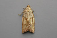 0998 Light Brown Apple Moth