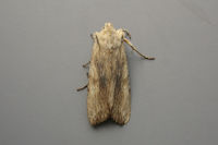 2236 Pale Pinion