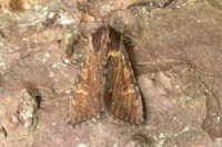 2326 Clouded-bordered Brindle