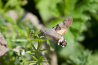 1984 Humming-bird Hawk-moth