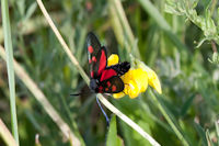 0171 Narrow-bordered Five-spot Burnet