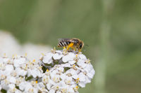 Mining Bee - Colletinae
