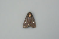 2343x Common Rustic agg.
