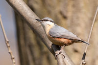 Nuthatches and Wallcreepers