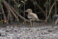 Stone-curlews